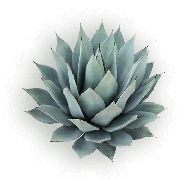 IC_Agave_glow
